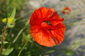 Coquelicots de la Somme (3)